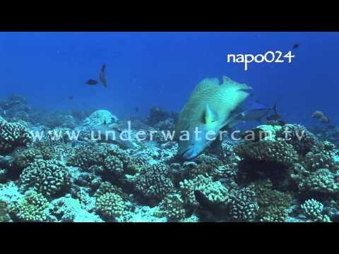 Maori wrasse hunting, stock footage: napo026