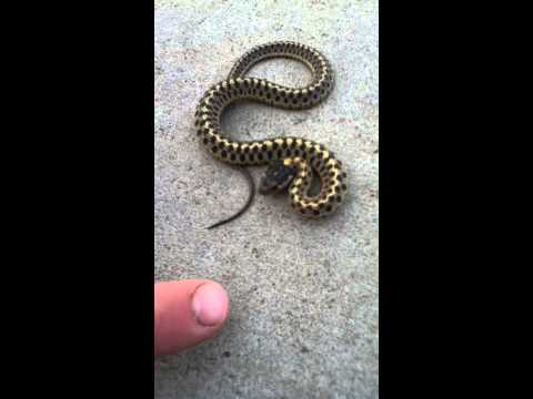 Baby Garter snake snapping at me