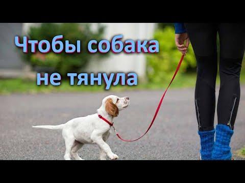 Собака тянет поводок как научить ходить на провисшем поводке. Развернутый ответ.