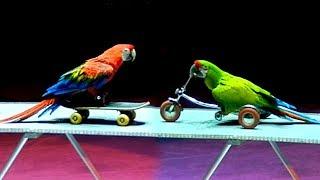 Попугаи Ара. Дрессированные Попугаи. Большие Попугаи Ара. Дрессированные Попугаи Ара. Попугаи Видео