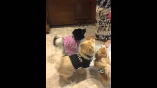 Pomeranians Christmas Surprise 2013