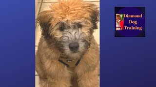 Prepare Your Puppy For Groomer Wheaten Terrier