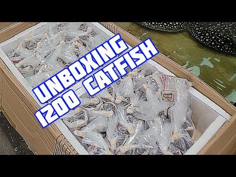 UNBOXING 1200 Dorado Catfish