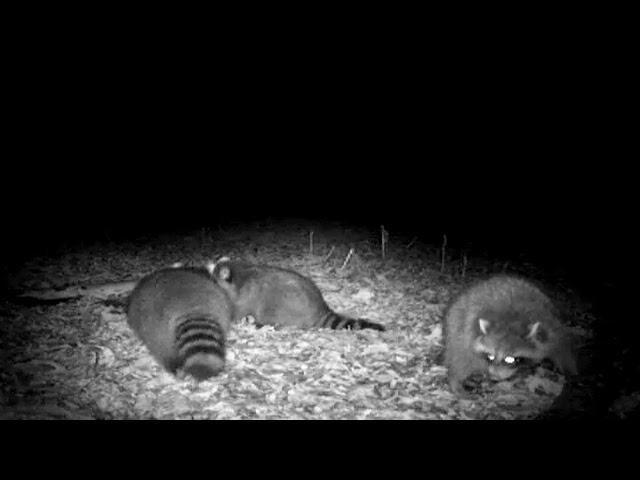 Raccoon Double using Kishel's Coon Lures