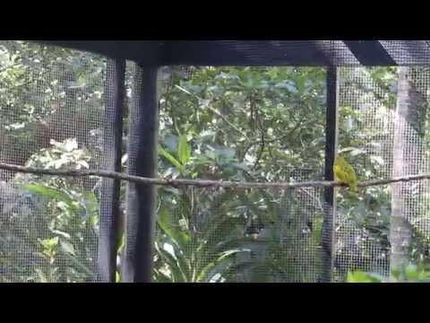 weird, cool call of a Golden Dove, Fiji