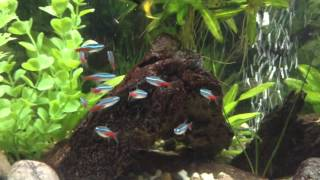 36 gallon bowfront aquarium angelfish community tank