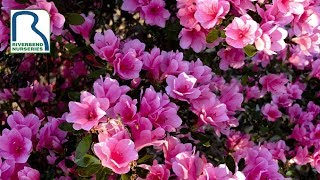 Tips on Growing Azaleas