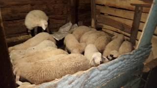 Kuzuların mama zamanı köyde hayat köyde yaşayanlar