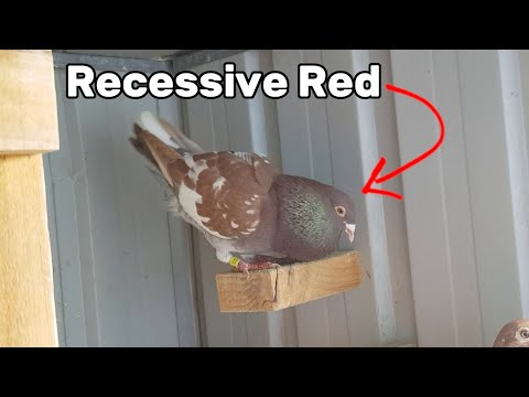 Recessive Red Meulemans