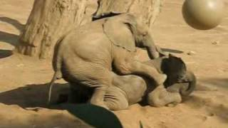 vuclip Baby Elephant Mating Gone Wrong - 05/08