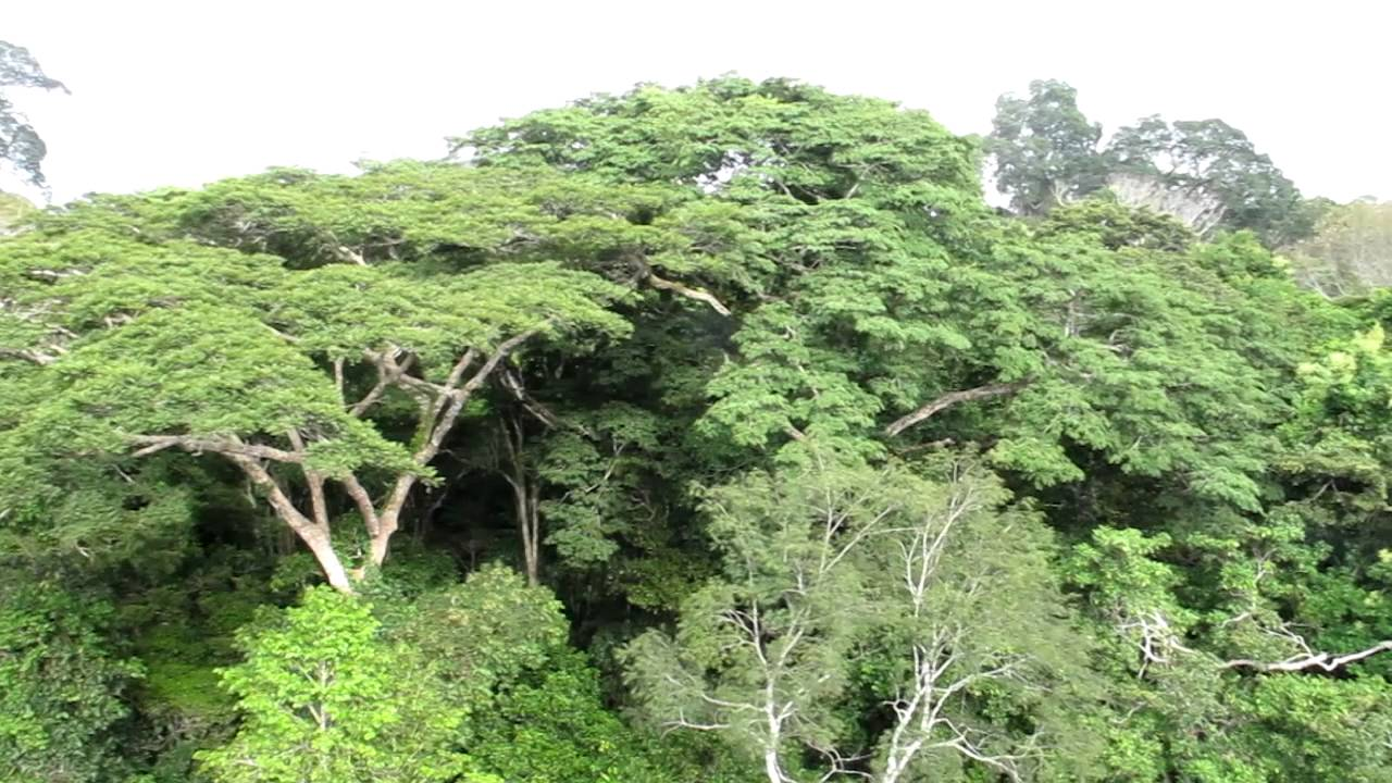 Above the canopy in the Amazon Forest & Above the canopy in the Amazon Forest - YouTube