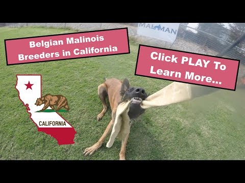 Belgian Malinois Breeders in California - Video Demo - Puppies For Sale in California