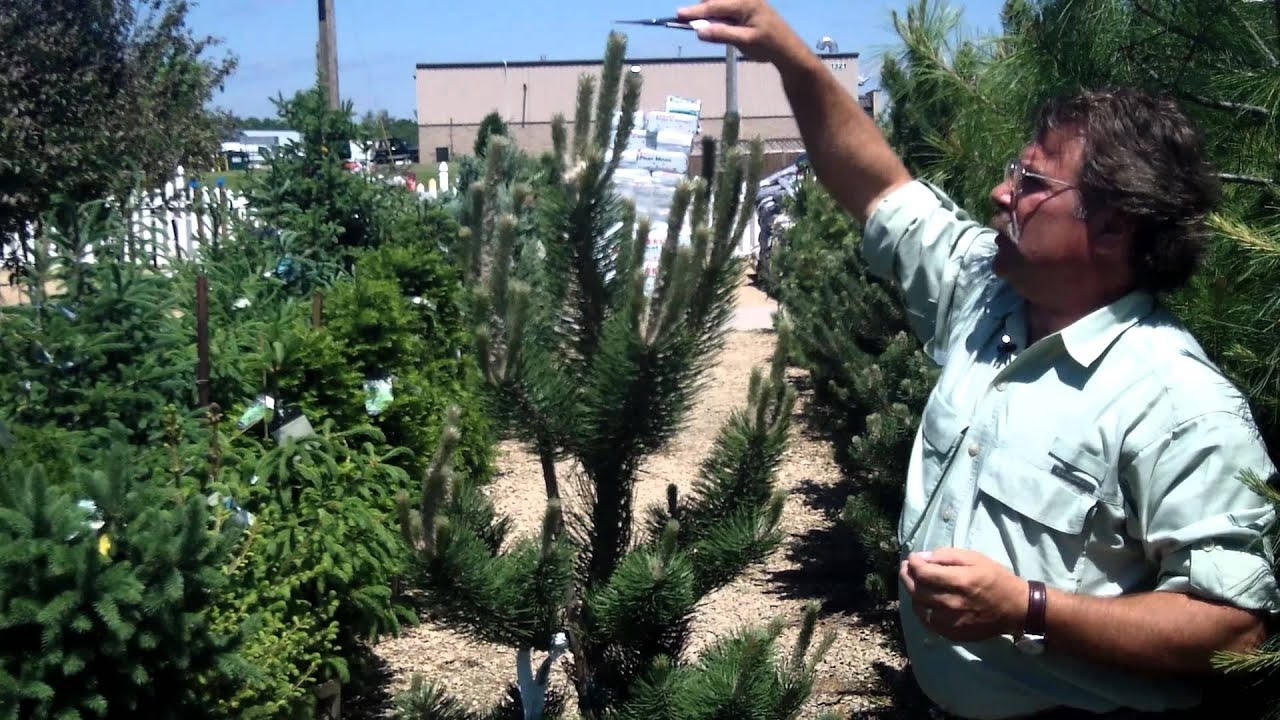 Pruning Pine And Fir Trees Mickman Brothers Landscape Maintenance You