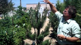 Pruning Pine and Fir Trees - Mickman Brothers Landscape Maintenance