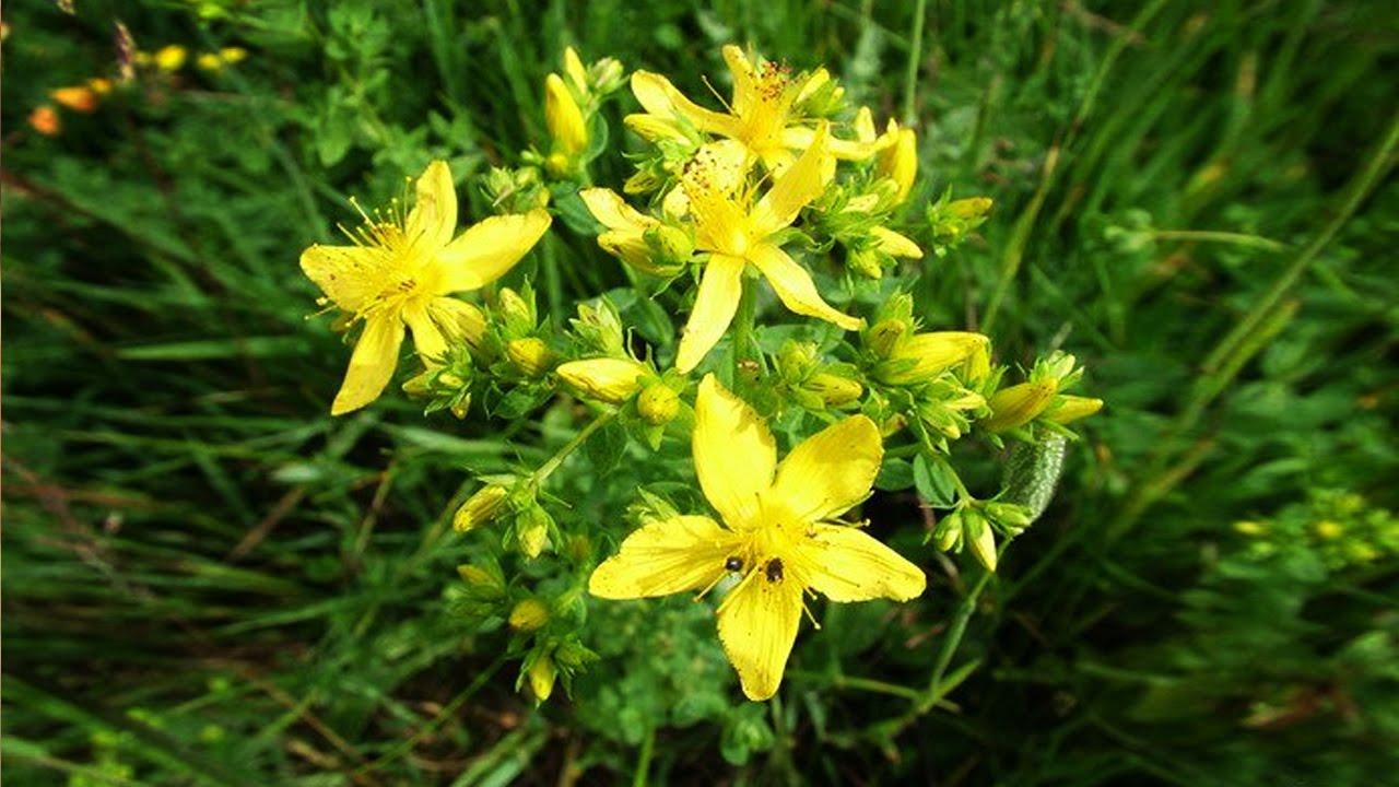 Зверобой Полезные лечебные свойства травы