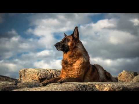 German Shepherd Dog Breeds Information, Origin, History, Appearance, Temperament, Health