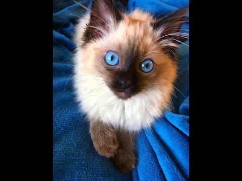 Clara, ragdoll seal point kitten