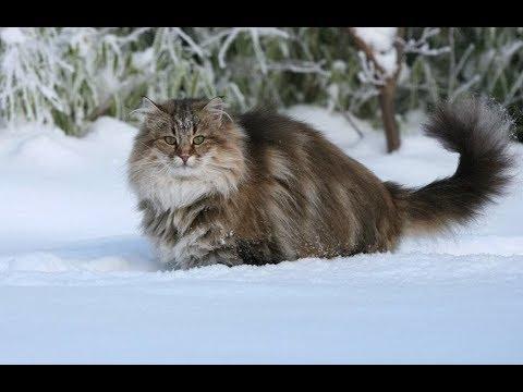 Сибирская кошка (всё о породе)