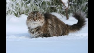 О сибирских кошках