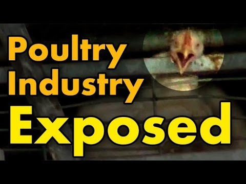 Undercover Investigation - Shocking animal abuse at Soglowek factory