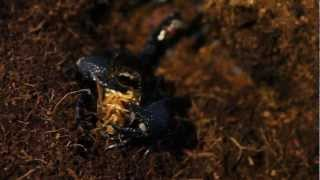 Feeding my Emperor Scorpion Colony