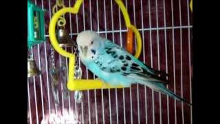 How to Care for Your New Budgie Part 1: Basic Tips