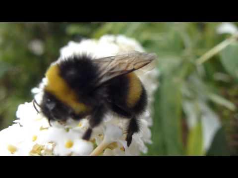 Butterfly Bush - Buddleja davidii - Fiðrildarunni  -    Húshumla - Flugur - Skordýr