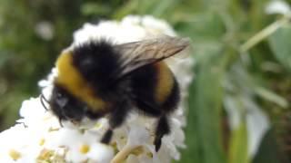 Butterfly Bush - Buddleja davidii - Fiðrildarunni 2    og svöng  Húshumla
