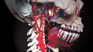 顎動脈の枝 後上歯槽動脈と蝶口蓋動脈