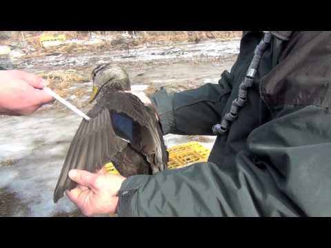Banding Black Ducks On The Maine Coast