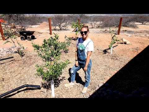 HOW WE'RE PLANTING 5 BEAUTIFUL FRUIT TREES IN THE ARIZONA DESERT