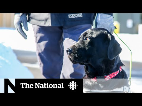 Without crowds, training guide dogs requires some creativity