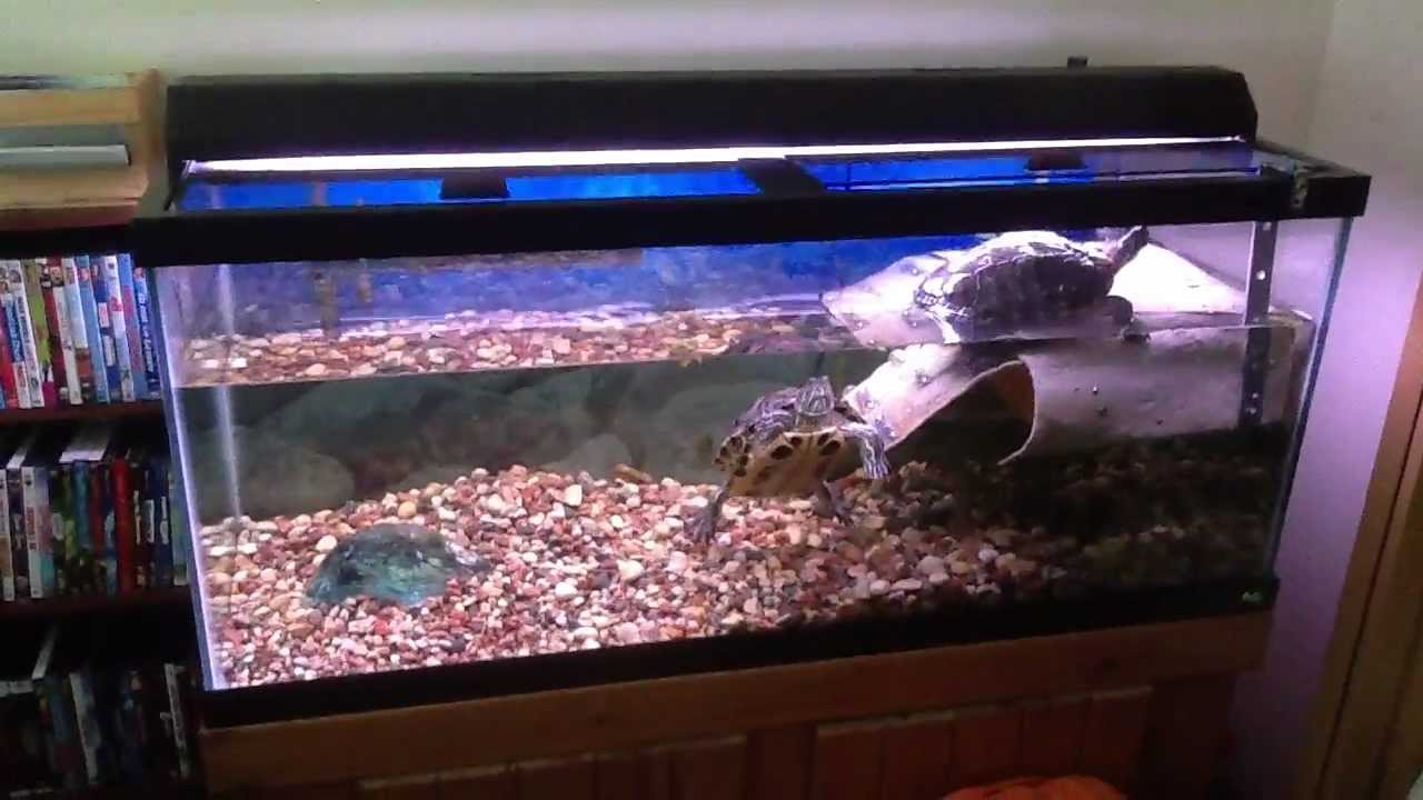 Red Eared Sliders in a 75 Gallon tank with Basking area