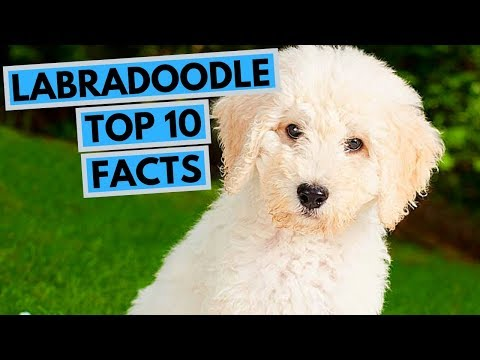 Labradoodle - TOP 10 Interesting Facts