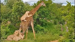 epic-giraffe-gives-lions-a-ride