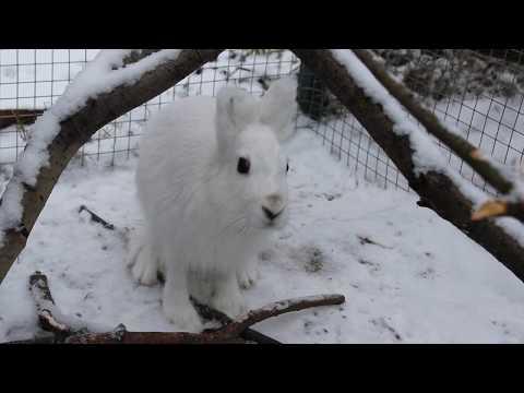 Вопрос: Заяц беляк и заяц русак -разная порода, или окрас сезонно меняется?