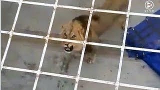 From king of the jungle to common criminal: Lion spends night behind bars