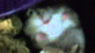 Mein Sly wurde von mir geweckt und schreit - Zwerghamster schreit (R.I.P.) - Dwarf Hamster