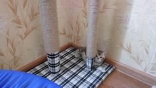 Игры маленьких британских котят. Помет Е