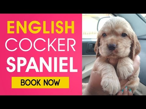 Get English Cocker Spaniel in Chandigarh and Jalandhar