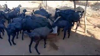 Nitin Harale Ousmanabadi Goat Farm Hippargarava Dist Ousmanabad
