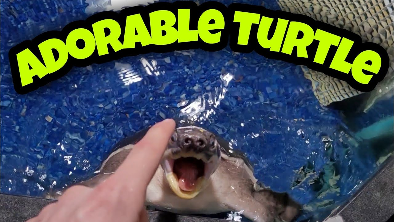 """Curing the Carapace on this Adorable Fly River Turtle """"HUBERT"""""""
