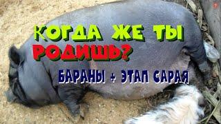признаки беременности вьетнамской свиньи. Привезли баранов. Делаем стайки в сарае