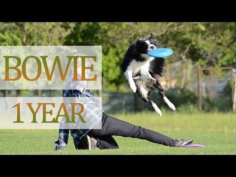 Bowie border collie  1 year