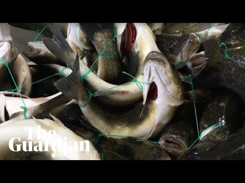 Secret filming reveals intensive fish farming practices in Italy