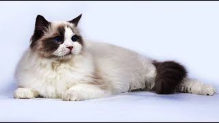 Things About The Ragdoll Cat