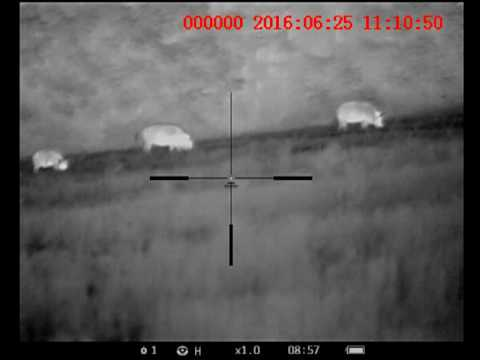 thermal images wild hogs with Watch on 22 Lr Subsonic Vs 400 Lb Hog Hunt Night Vision Suppressed likewise Watch together with Watch additionally Hog And Pig Hunt as well View.