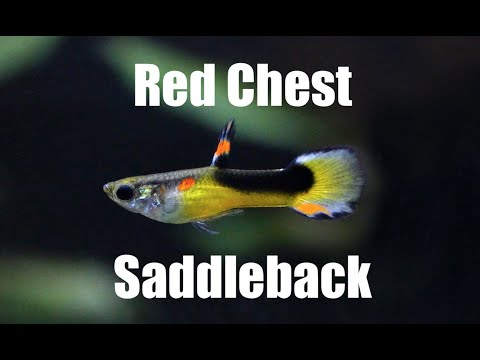 Endler´s Livebearer (Red Chest Saddleback - Class K)