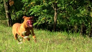 Dogue De Bordeaux Attacco Attack