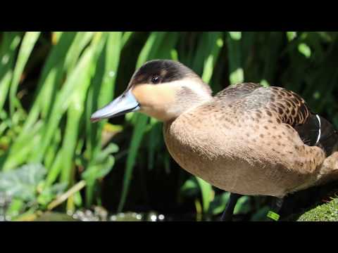 Hottentot teal dabbling, bathing and preening (HD)